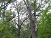 Walkers dwarfed by Tingle Trees