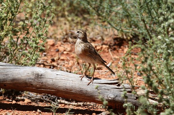 Juvenile Spinifex bird.  Looked more like a Little Grassbird, but its bobbing tail and general Spinifex habitat convinced us otherwise.