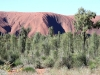 Uluru behind a stand of healthy young Desert Oaks.