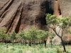 More trees at the base of Uluru.  All the trees are covered in bright green, new foliage