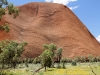 Kuniya - the Woma Python, etched high up on Uluru.  A carpet of Little Billy Buttons in foregound