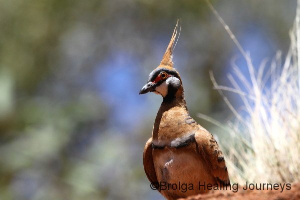 A Spinifex Pigeon peers at me from the top of a boulder near Mutitjulu waterhole