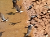 Welcome Swallows collecting mud for nesting from a pool