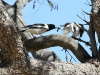 Mother Pied Butcherbird feeds the youngster a fat grub.  Near Mutitjulu