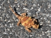 Our first sighting of a wild Thorny Devil.  On the road near Uluru