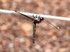 Beautiful Dragonfly hangs around near Mutitjulu.