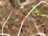 Dragonfly, Kantju Gorge