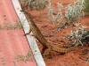 Sand Goanna near our campsite.  Will I cross the walkway?, he thinks.