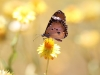 Lesser Wanderer Butterfly on Golden Everlasting Daisy