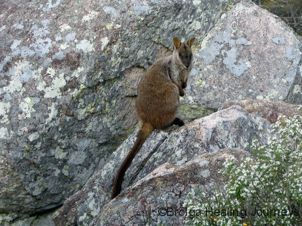 Brush-Tailed Rock Wallaby,  Crows Nest Ntl Pk, QLD