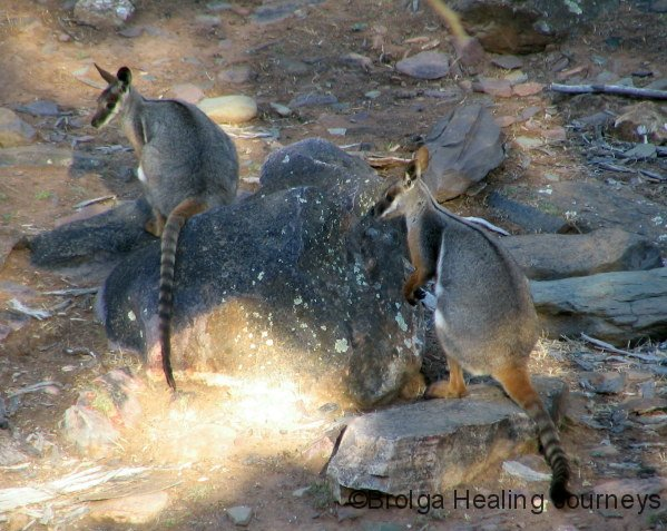 Yellow Footed Rock Wallabies, Warrens Gorge, near Quorn, SA