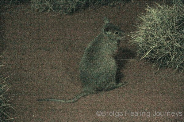 Rufous Hare Wallaby (the Mala), Nocturnal House, Alice springs Desert Park, NT