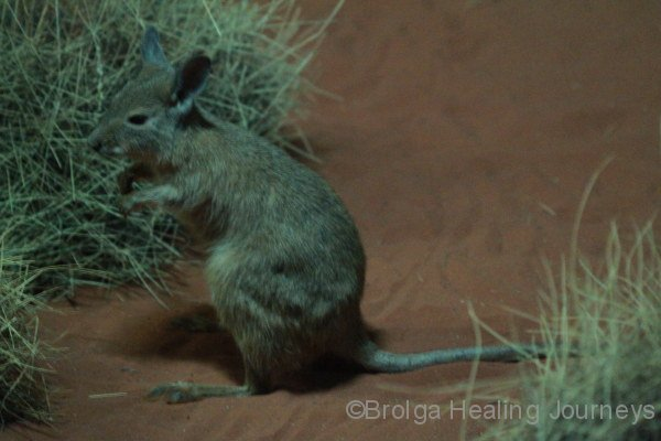 Mala (Rufous Hare Wallaby), Nocturnal House, Alice Springs Desert Park