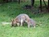 Swamp Wallabies, Bunya Mtns Ntl Pk, QLD