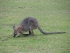 Swamp Wallaby, Bunya Mtns Qld