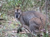 Swamp Wallaby, Warrumbungle Ntl Pk, NSW