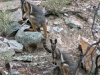 Yellow Footed Rock Wallabies, Mt Remarkable Ntl Pk, SA