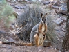 Yellow Footed Rock Wallaby, Warrens Gorge, near Quorn, SA