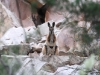 Yellow-Footed Rock Wallaby watches us watching it. >t Remarkable Ntl Pk