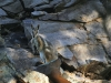 A Yellow Footed Rock Wallaby looks on, late afternoon, Mt Remarkable Ntl Pk
