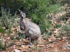 Our first confirmed sighting of a Wallaroo.  Mt Remarkable Ntl Pk, SA