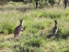 Mother and joey Wallaroos, Alice springs region NT