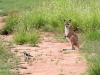 Follow me!  A peewee appears to be showing a joey the way.