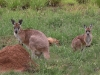 Mother, another joey in pouch, with her earlier joey offspring.  A good season!
