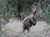A very solid male Wallaroo (Euro)