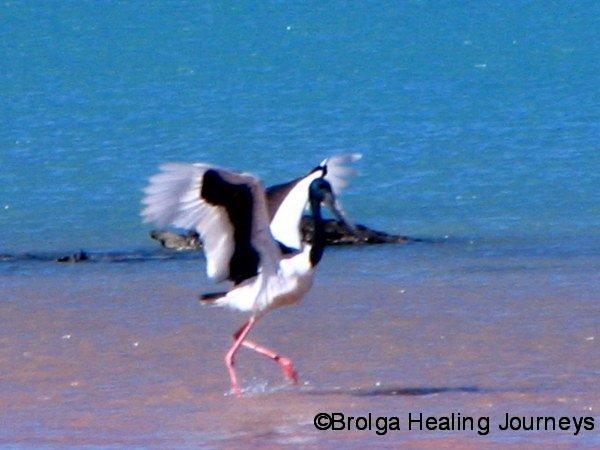 Black Necked Stork (Jabiru) Roebuck Bay WA