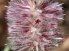 Close-up of Tall Mulla Mulla