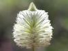 Close-up of Green Mulla Mulla