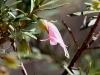 Native Fuchsia