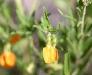 The tiny, Orange Spade Flower