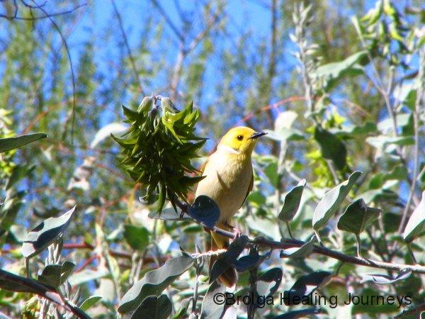 White-Plumed Honeyeater beside a Birdflower, Carawine gorge, the Pilbara, WA