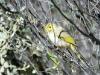 White-Plumed Honeyeater, Alice Springs region, NT