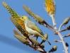 White-Plumed Honeyeater enjoying a feed of nectar, Alice Springs