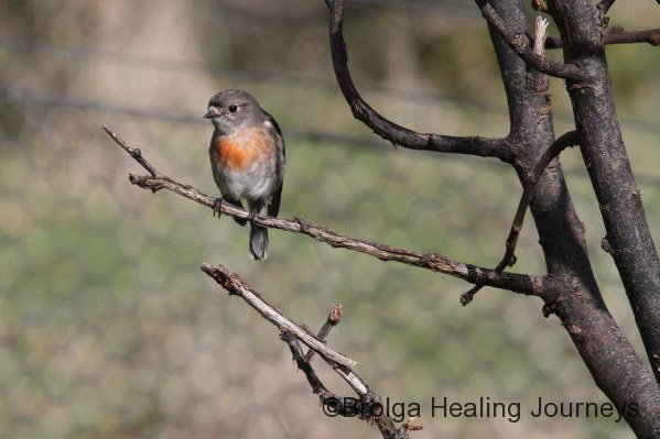 Female Scarlet Robin - affectionately known as Lady Robin