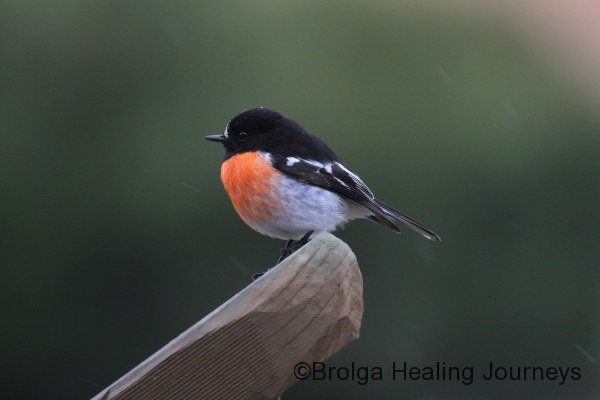 Our local male Scarlet Robin.  Sir Robin to you!