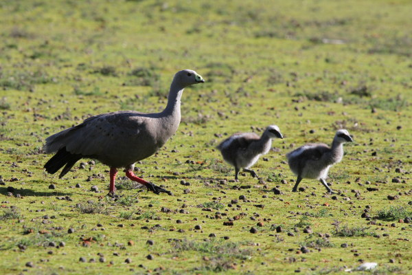 Adult Cape Barron Goose and two chicks - at Flinders Chase National Park.