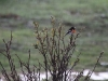 The male Scarlet Robin braves the driving rain.