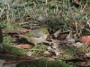 A Silvereye searches for food.