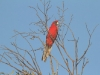 Crimson Rosella in the late afternoon sun.