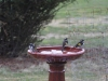 New Holland Honeyeaters enjoying the bird-bath. The wire cage isto protect a young lavender bush from marauding wallabies.