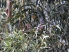 Female Gang Gang Cockatoo.  Can you see her - just right of centre.