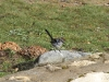 A juvenile male Superb Fairy Wren comes into his breeding colours.