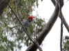 Male Gang Gang Cockatoo with his gorgeous red crown.  It is always a thrill to see one of these.