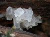 A Jelly fungus, I believe Tremella fimbriata.