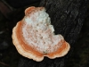 One of the many Woody Pore-fungi.  Species to be determined..