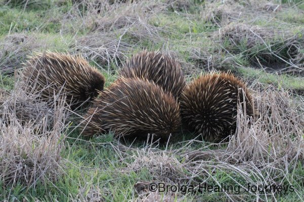 What are they up to? Four Echidnas in our paddock on dusk.  We had six wandering around together that evening.